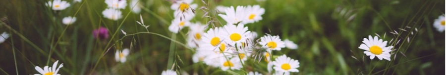 Daisies in lawn-ribbon